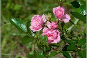 Rizactive Rose - розовый экстракт на рисовом молочке